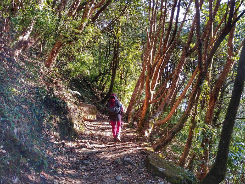 Рододендроновый лес на треккинге к Аннапурне