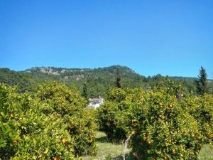 Турция. Апельсиновые сады
