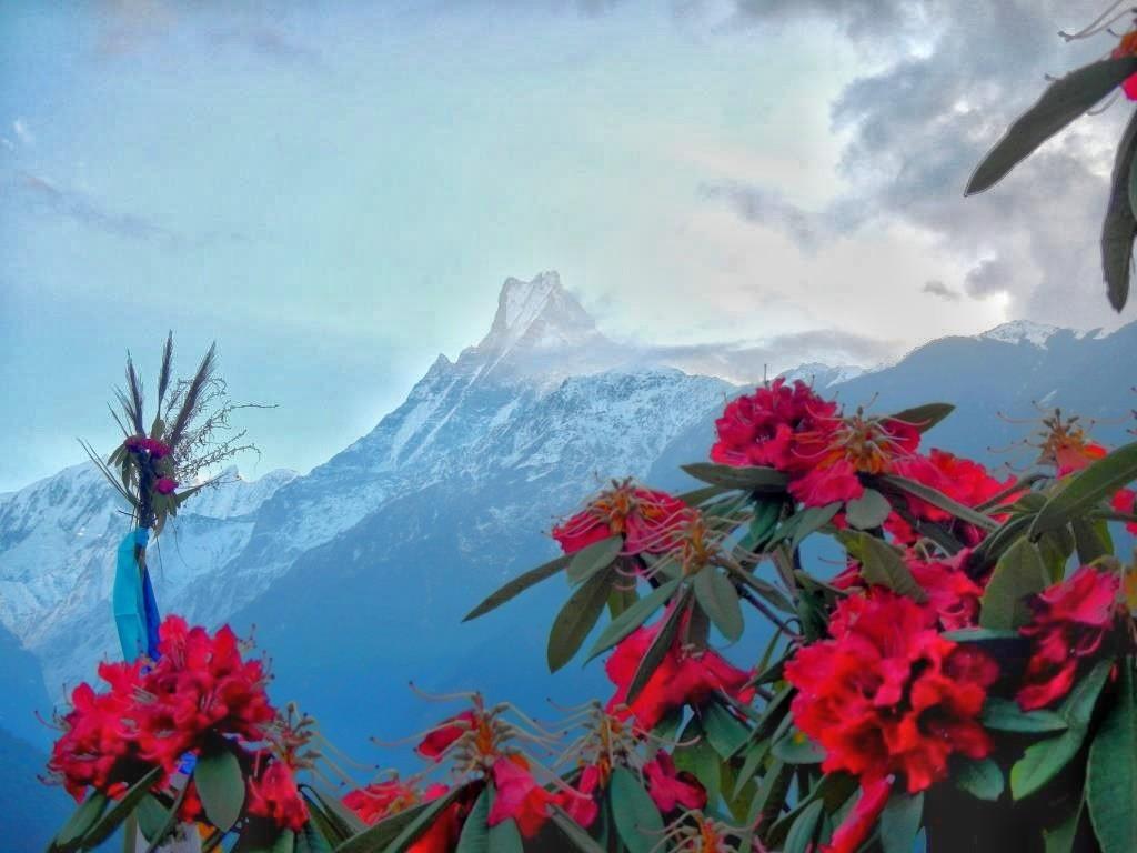 Непал Мачапучаре Рододендроны