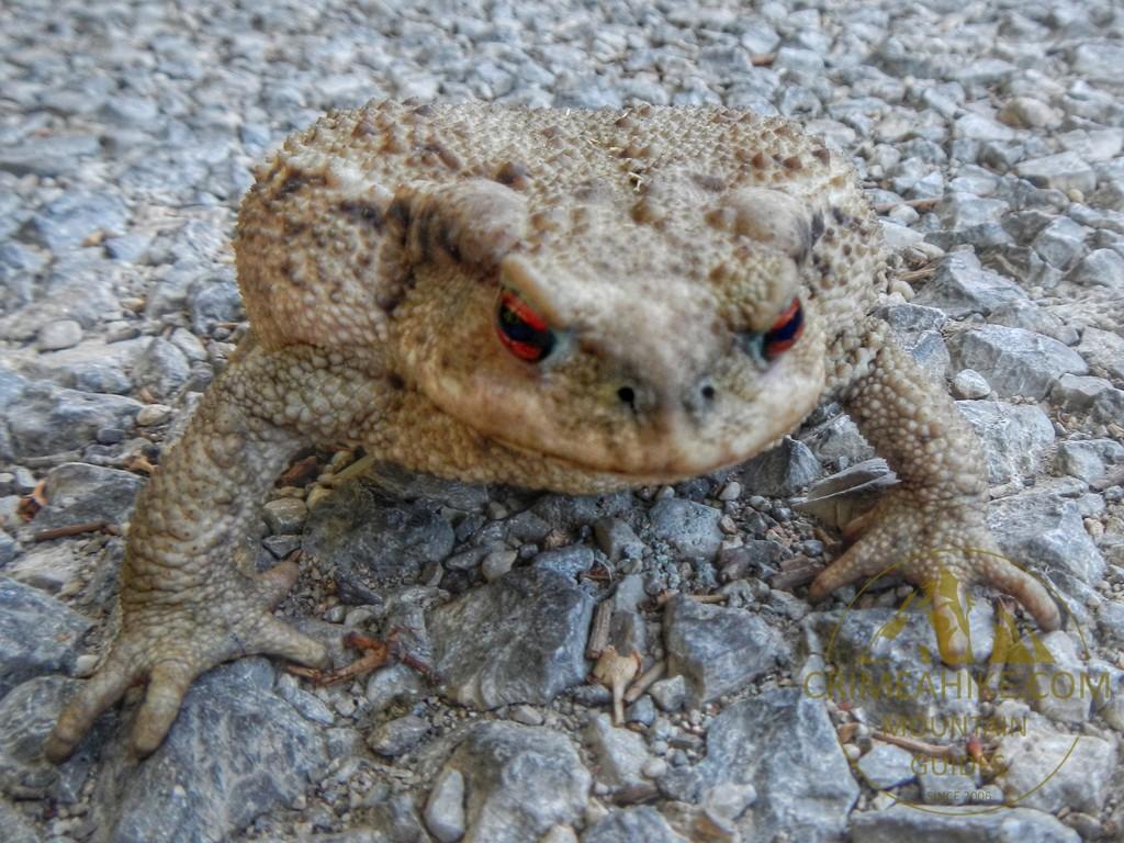 Гигантская жаба с Ликийской тропы