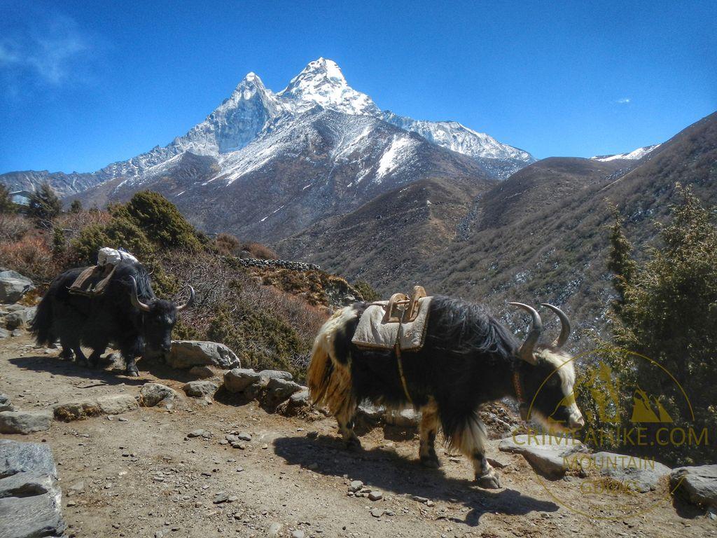 Непальские яки