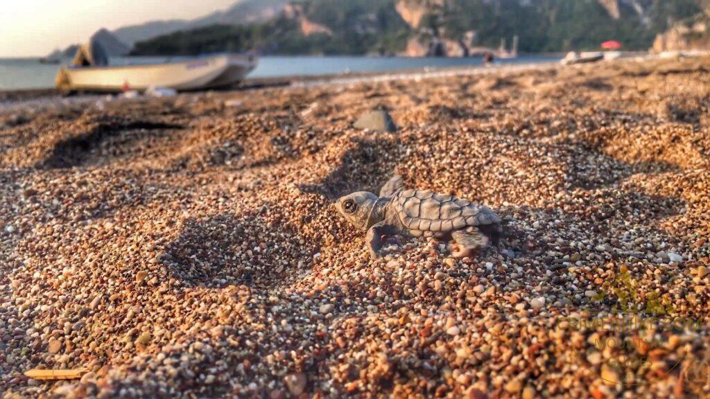 Черепашёнок бежит к морю